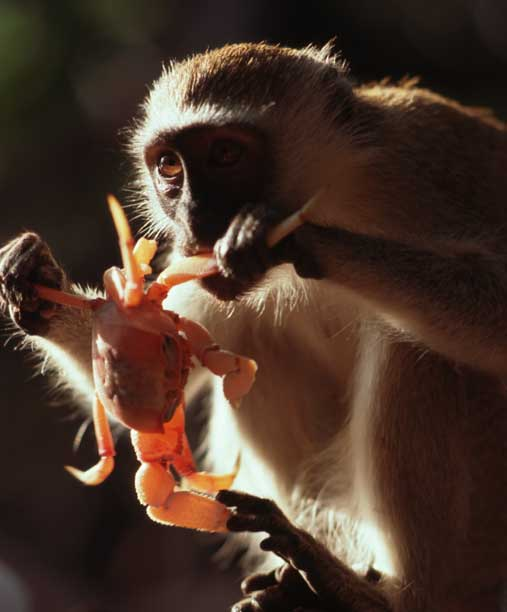 Vervet monkey eating ghost crab - click to go back
