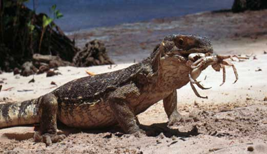 Monitor lizard eating crab - click to go back