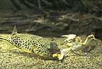 freshwater pufferfish attacking crab - click to view detail